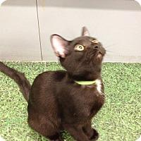 Adopt A Pet :: Nova - Garland, TX