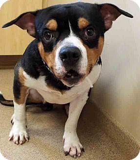 Bulldog Mix Dog for adoption in Oswego, Illinois - Rue