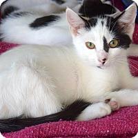 Domestic Shorthair Kitten for adoption in Island Park, New York - Dakota