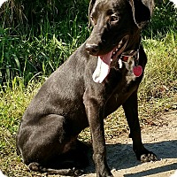 Labrador Retriever Mix Dog for adoption in Macomb, Illinois - Nelson
