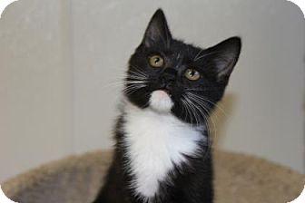 Domestic Shorthair Kitten for adoption in Greensboro, North Carolina - Summer