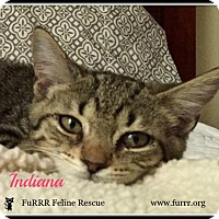 Domestic Shorthair Cat for adoption in Gonic, New Hampshire - Indiana