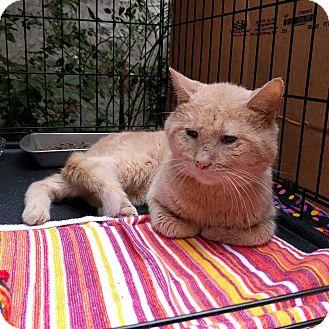 American Shorthair Cat for adoption in Brooklyn, New York - Ralph