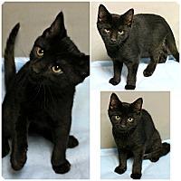 Adopt A Pet :: Van Helsing - Forked River, NJ