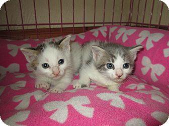 Domestic Shorthair Kitten for adoption in Naples, Florida - Addison&Riley