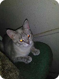 Siamese Cat for adoption in Elk Grove, California - DELLA