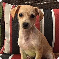 Dachshund/Chihuahua Mix Puppy for adoption in Houston, Texas - Zelda