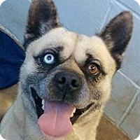Adopt A Pet :: Kai - Springdale, AR