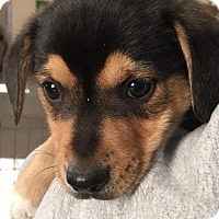 Adopt A Pet :: Simon - Monroe, GA