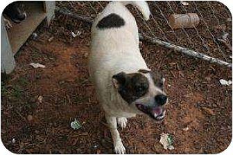American Bulldog/Beagle Mix Dog for adoption in Hayden, Alabama - Lucy