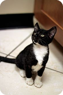 Domestic Shorthair Kitten for adoption in Chicago, Illinois - Jacques