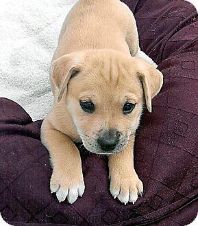 Labrador Retriever/Catahoula Leopard Dog Mix Puppy for adoption in Broomfield, Colorado - TigerLily