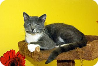 Domestic Shorthair Kitten for adoption in Mobile, Alabama - Pumpkin