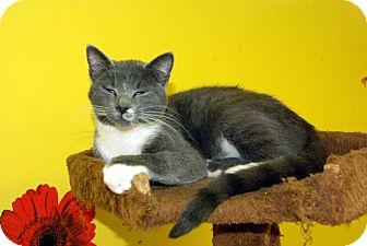 Domestic Shorthair Kitten for adoption in Mobile, Alabama - Pumpkin