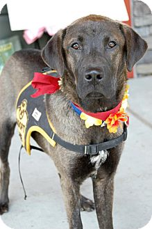 Labrador Retriever/Shepherd (Unknown Type) Mix Dog for adoption in Baton Rouge, Louisiana - Anastasia