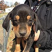 Adopt A Pet :: Max - Russellville, AR