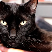 Domestic Mediumhair Cat for adoption in Los Angeles, California - Snoopy