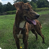 Adopt A Pet :: Ridge - Hatifeld, PA