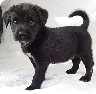 Labrador Retriever/Wirehaired Fox Terrier Mix Puppy for ...