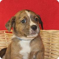 Adopt A Pet :: Prancer - Waldorf, MD