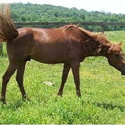 Photo 1 - Quarterhorse/Tennessee Walking Horse Mix for adoption in Lyles, Tennessee - Reddy