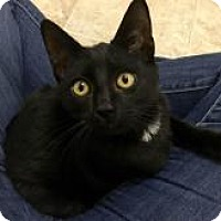 Domestic Shorthair Cat for adoption in Kingwood, Texas - Bow tie