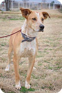 Australian Cattle Dog/Shepherd (Unknown Type) Mix Dog for adoption in Midland, Texas - Dipper