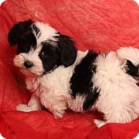 Adopt A Pet :: Jingles Shih ton - St. Louis, MO