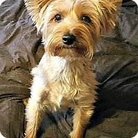 Yorkie, Yorkshire Terrier Mix Dog for adoption in Indianapolis, Indiana - Fiona