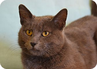 Russian Blue Cat for adoption in Larned, Kansas - Chloe