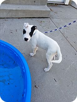 Bull Terrier/American Bulldog Mix Puppy for adoption in Wyoming, Michigan - Iceman - **DEAF
