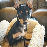 Adopt A Pet :: Peter Pan - Fredericksburg, TX