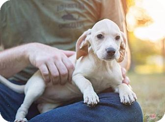 Shepherd (Unknown Type)/Hound (Unknown Type) Mix Puppy for adoption in Bowie, Maryland - Haili Adoption Pending Congrats Binetti Family!