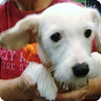 Westie, West Highland White Terrier/Terrier (Unknown Type, Small) Mix Dog for adoption in Phoenix, Arizona - Mallo