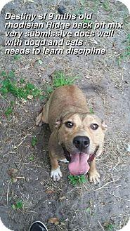 Rhodesian Ridgeback Dog for adoption in Hialeah, Florida - Destlny