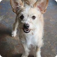 Standard Schnauzer/Jack Russell Terrier Mix Dog for adoption in Burbank, Ohio - Fuzzy