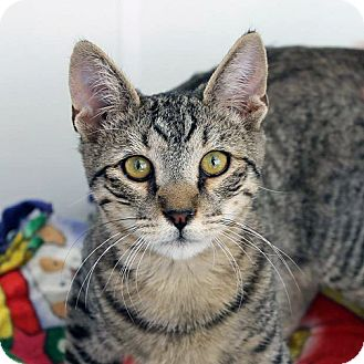 Domestic Shorthair Cat for adoption in Mountain Center, California - Drax