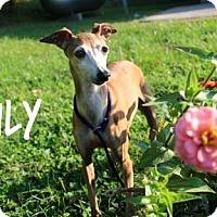 Italian Greyhound Mix Dog for adoption in Newport, Kentucky - Lily St John