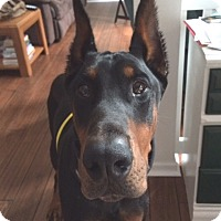 Doberman Pinscher Dog for adoption in Arlington, Virginia - Apollo