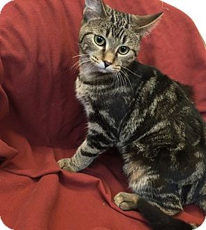 Domestic Shorthair Kitten for adoption in University Park, Illinois - Dinah