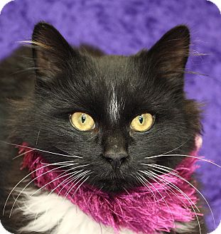 Domestic Longhair Cat for adoption in Jackson, Michigan - Stormy