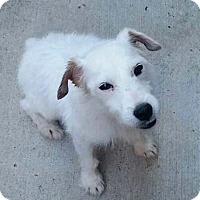 Adopt A Pet :: Mutley in Dallas - Dallas/Ft. Worth, TX