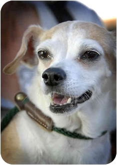 Chihuahua Dog for adoption in Canoga Park, California - D.J.