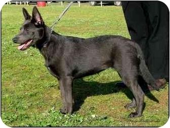 Australian Kelpie Mix Dog for adoption in Scottsdale, Arizona - Sierra