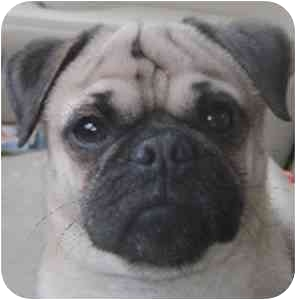 Pug Dog for adoption in Edmeston, New York - Georgie-NY