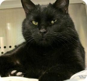 Domestic Shorthair Cat for adoption in Jackson, Michigan - Toby