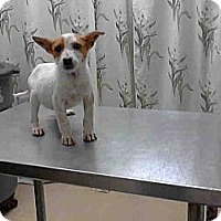 Adopt A Pet :: Puppies!! JRT mixes. - Houston, TX
