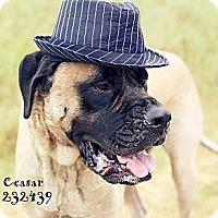 Adopt A Pet :: Caesar - Missouri City, TX