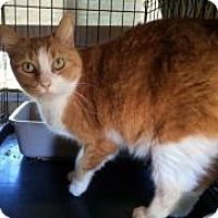American Shorthair Cat for adoption in Mission Viejo, California - Big Girl