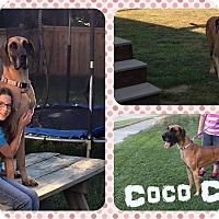 Adopt A Pet :: Coco Chanel - DOVER, OH